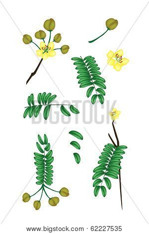 Parts Of Senna Siamea On White Background
