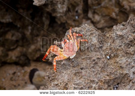 A dead crab hangs out on the edge of some lava rock in oahu hawaii. poster