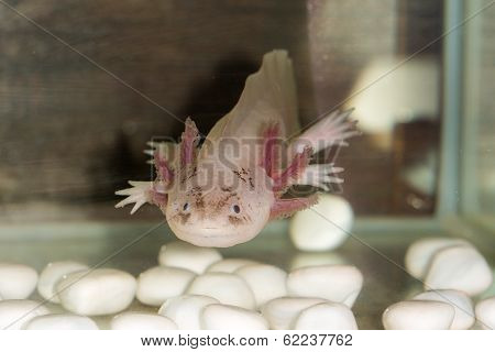 Axolotl  In The Aquarium
