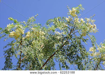 Bitter cucumber-chinese (Moringa oleifera Lam.)