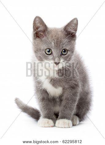 Upset gray kitten. Isolated on white background poster