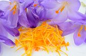 Saffron or Crocus sativus close up view on heap of spicy stamens and pestle surrounded by crocus flowers waiting in process of spice production poster