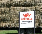 Square bales of freshly cut hay for sale poster