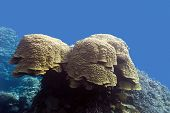 coral reef with grat porites coral at the bottom of tropical sea in on blue water background poster