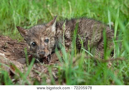 Coyote Pup (canis Latrans) Gnaws On Piece Of Meat