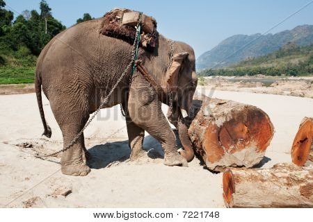 Elephant At The Work