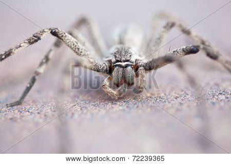 Common Rain Spider On Brick Pavement, Selective Focus