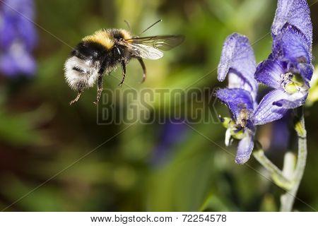 flying bumble bee