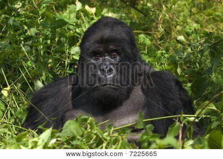 Mountain gorilla and silverback