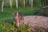 Grey Wolf Pup (Canis lupus) Stands at Den Entrance - captive animal poster