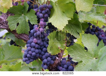 Blue-Purple Grape Clusters