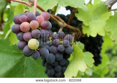Tiny Grape Cluster