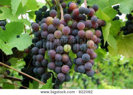 Grapes Changing Color