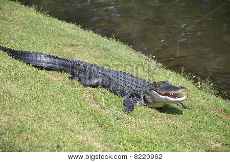 An American alligator lying on the grass by a lagoon.  The photo was taken on Hilton Head Island in South Carolina. poster