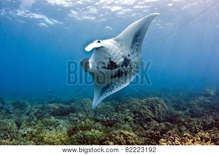 Manta on reef