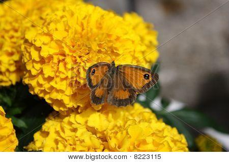 Gatekeeper Butterfly On A Marigold