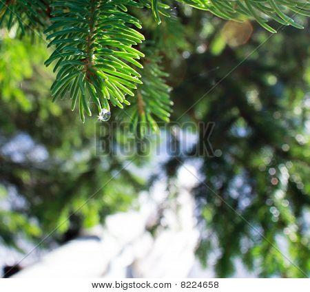 Water Drop On Pine Needle