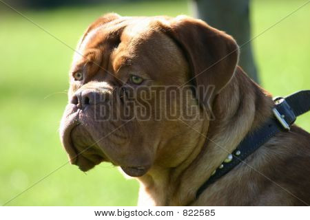 Dogue De Bordeaux, the French Mastiff