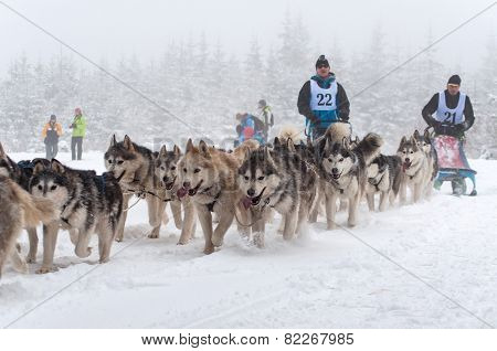 Husky Dogs In A Dog Sled Race