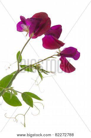 Sweet pea, lathyrus odoratus, flowers isolated on white poster
