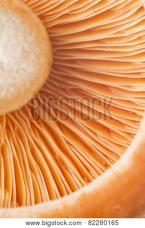Closeup From A Saffron Milk Cap