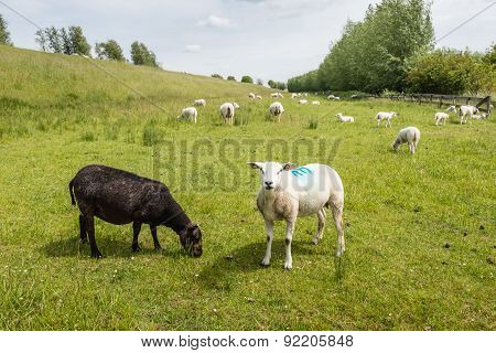 Recently Shorn Sheep In The Meadow