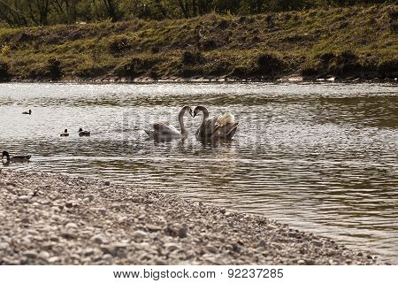 Swans on the river Isar