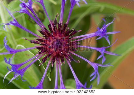 Cornflower (centaurea cyanus) close up.