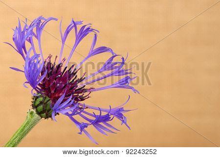 Cornflower (centaurea cyanus) close up against the beige background.