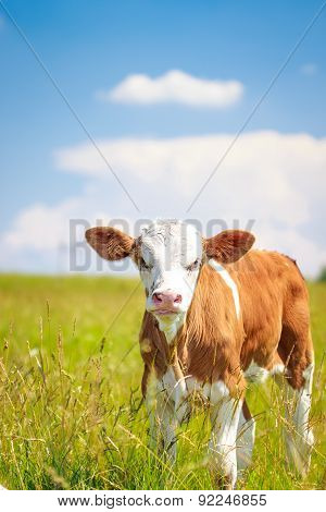 Cute Baby Cow On Pasture With Blue Sky