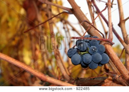 Un-Harvested Grapes