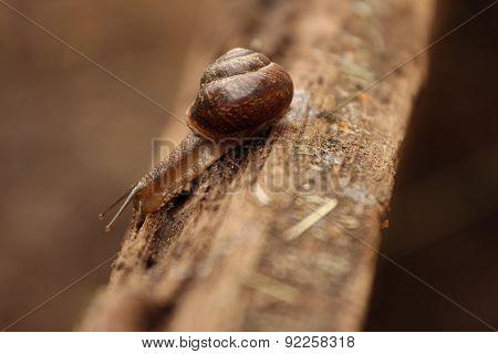 A Helix pomatia. A snail. The Leningrad Region, Russia.