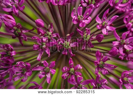 Closeup Giant Purple Allium Flower