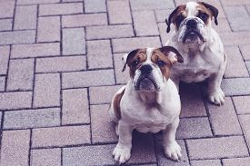 English Bulldog Puppy Pavers Copyspace Pastel