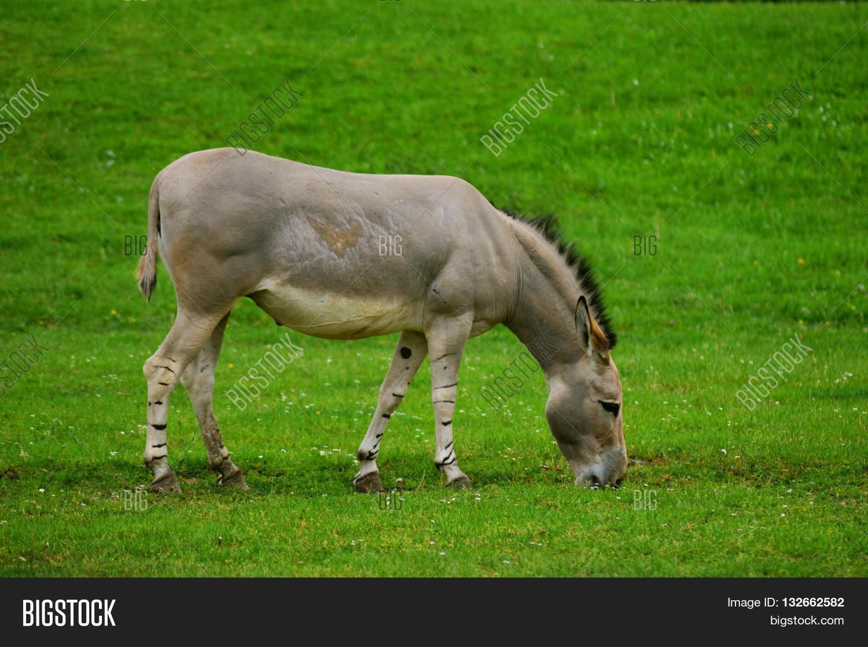 Somali Wild Ass Eating Grass Equus Africanus Somaliensis