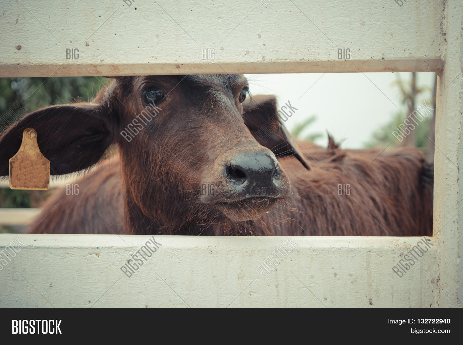Murrah Buffalo Image & Photo (Free Trial) | Bigstock