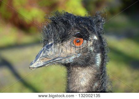 Australian Emu in profile having a bad hair day