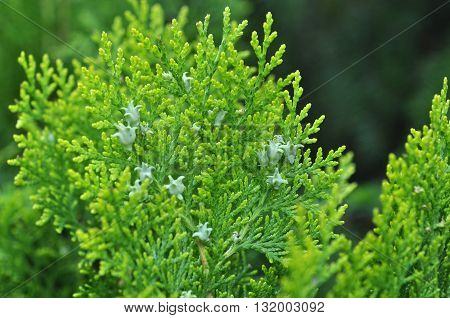 Beautiful Green Yew Twig Outdoor as Background