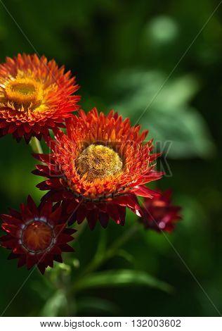 Flowers Helichrysum Arenarium. Medicinal plant. Beautiful floral background. Selective focus