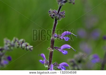 Meadow clary or meadow sage (Salvia pratensis) a wild growing species of sage.