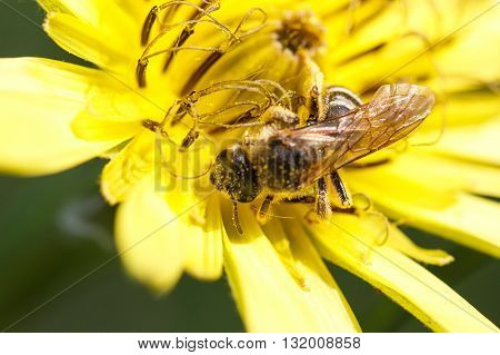 A bee collects ardent on the flowers.