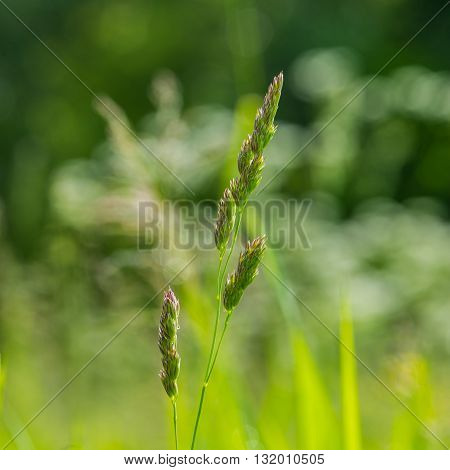 green ears of plants and dew drops on a green background