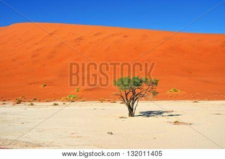 Green Camelthorn Trees against an orange dunes and blue sky in Deadvlei Sossusvlei. Namib-Naukluft National Park Namibia Africa