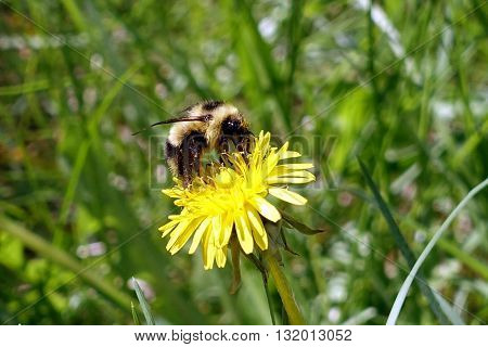 Picture of a bumble bee sitting on a dandelion.