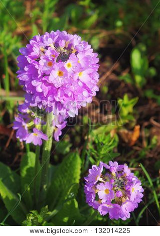 Purple primrose in green garden under the sun.