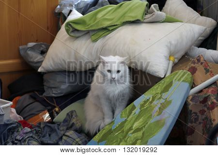 Naughty longhair white cat sitting in a pile of laundry at their home