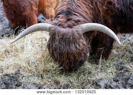 bull with long wool eating hay close-up