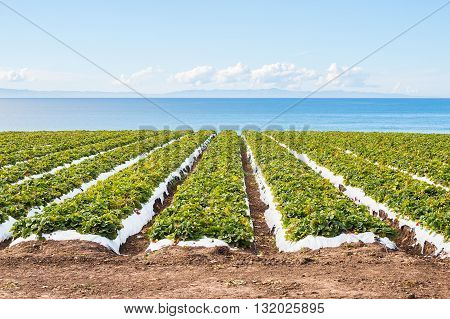 A strawberry field overlooking the Pacific ocean near Santa Barbara California.