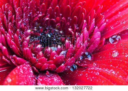 Close Up Of A Red Gerbera Daisy