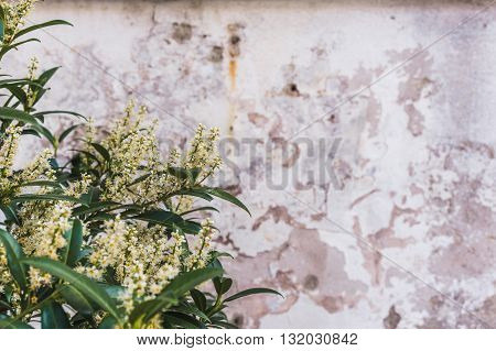 White flowers Bush in the background of the old wall